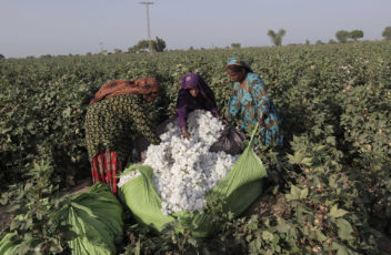 Women cotton pickers unload cotton blooms plucked from plants to make a bundle in a field in Meeran Pur village, north of Karachi